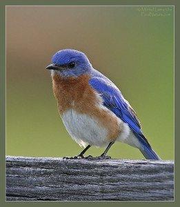 Merlebleu de l'Est Sialia sialis Eastern Bluebird